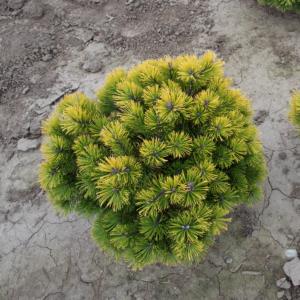 Pinus mugo 'Winter Gold' – Aranylombú havasi törpefenyő