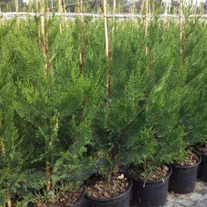 Cupressocyparis leylandii 'Oger' - Leyland ciprus 'Oger'