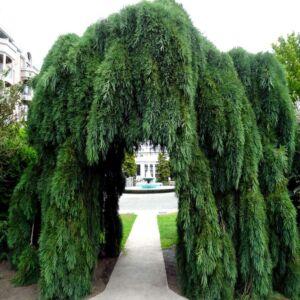 Sequoiadendron giganteum 'Pendulum' - Csüngő hajtású óriás mamutfenyő