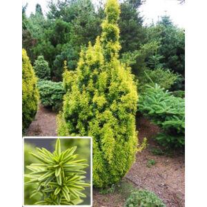 Taxus baccata 'David' – Arany oszlopos tiszafa