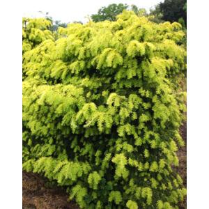 Taxus baccata 'Dovastonii Aurea' – Aranyló tiszafa