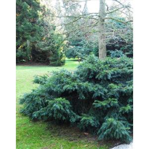 Taxus baccata 'Repandens' – Zöld, terülő tiszafa