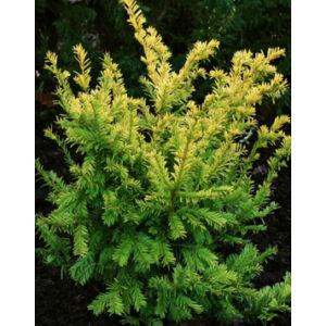 Taxus baccata 'Semperaurea' - Tiszafa