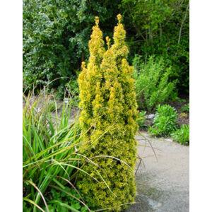Taxus baccata 'Standishii' – Sárga, törpe, oszlopos tiszafa