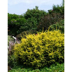 Taxus baccata 'Summergold' - Tiszafa