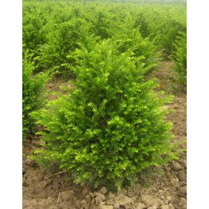 Taxus baccata 'Zöld' - Tiszafa (porzós)