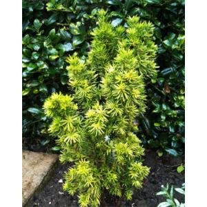 Taxus x media 'Stricta Viridis' – Tiszafa