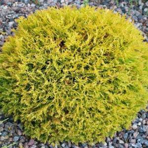 Thuja occidentalis 'Danica Aurea' – Törpe arany gömbtuja