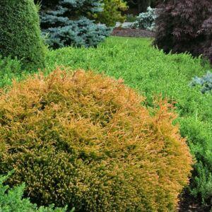 Thuja occidentalis 'Golden Tuffet' – Aranylombú törpe gömbtuja