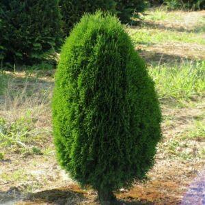 Thuja occidentalis 'Green Egg' – Nyugati tuja