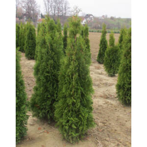 Thuja occidentalis 'Jóska' – Tuja