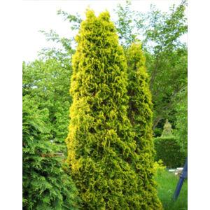 Thuja occidentalis 'Malonyana Aurea' – Arany, oszlopos nyugati tuja