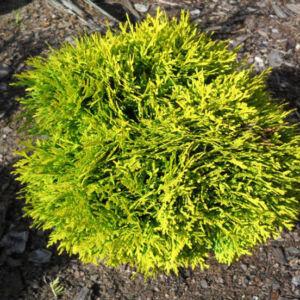 Thuja occidentalis 'Mirjam' – Arany törpe gömbtuja
