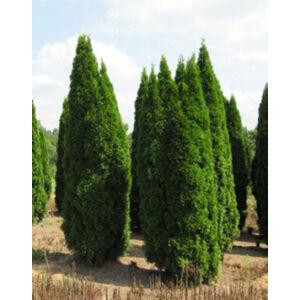 Thuja occidentalis 'Smaragd' - Smaragd tuja