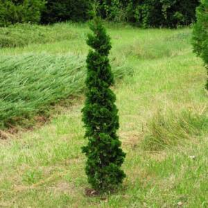 Thuja occidentalis 'Spiralis Mini' – Törpe spiráltuja