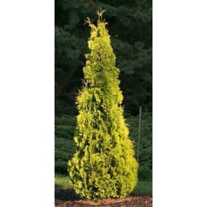 Thuja occidentalis 'Yellow Ribbon' - Sárga oszlopos tuja