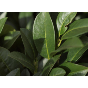 Prunus laurocerasus 'Mano' - Babérmeggy