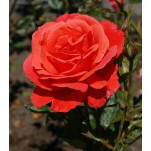 Rosa 'Alexander' - narancs vagy narancs piros teahibrid rózsa