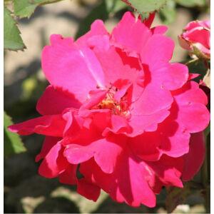 Rosa 'Anne Poulsen®' - Karmazsinvörös virágágyi ágyás rózsa
