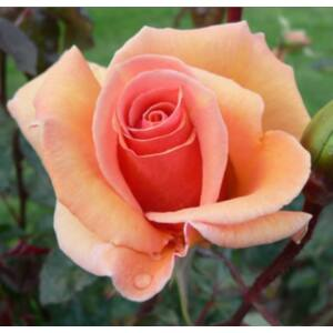 Rosa 'Apricot Silk' - Sárgabarack színű teahibrid rózsa