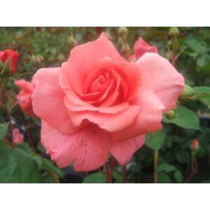 Rosa 'Baba' - Rózsaszín, magastörzsű rózsaoltvány