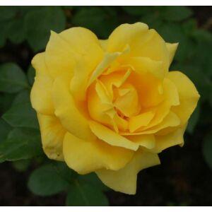 Rosa 'Landora' - Sárga, magastörzsű rózsaoltvány