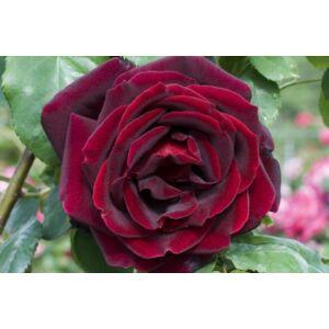 Rosa 'Papa Meilland' - Sötétvörös magastörzsű rózsaoltvány