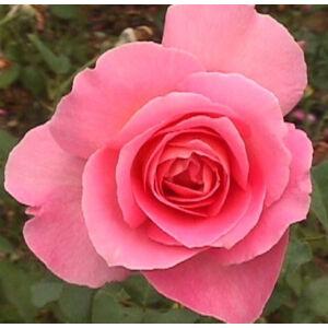 Rosa 'Tiffany' - Rózsaszín, magastörzsű rózsaoltvány