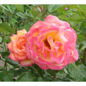 Rosa 'Rumba' - Narancssárga-sárga, magastörzsű rózsaoltvány