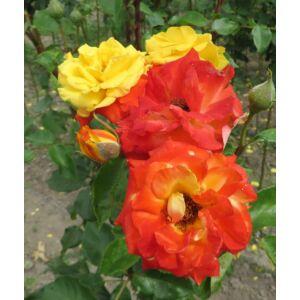 Rosa 'Samba® (Korcapas)' - Piros szélű, sárga, magastörzsű rózsaoltvány