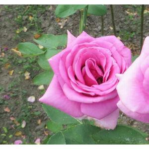 Rosa 'Lila' - Mályvás lila, magastörzsű rózsaoltvány