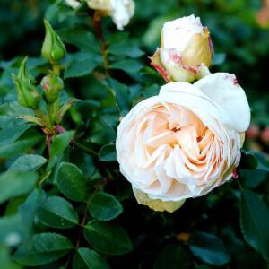 Rosa 'Apricot Blossom' – Fehér, csüngő koronájú magastörzsű rózsaoltvány