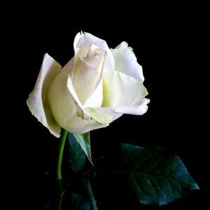 Rosa 'Bianca' – Fehér, teltvirágú, illatos magastörzsű rózsaoltvány