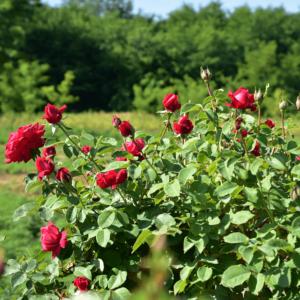 Rosa 'Dame de Coure' – Borpiros, teltvirágú, enyhén illatos magastörzsű rózsaoltvány