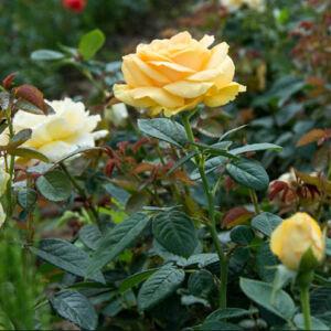 Rosa 'Gaby Morlay' -  Sárga, magastörzsű rózsaoltvány