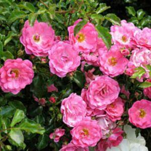 Rosa 'Heidi Traume' – Magastörzsű rózsaoltvány