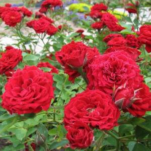 Rosa 'Rot Fairy' – Piros, csüngő koronájú magastörzsű rózsaoltvány