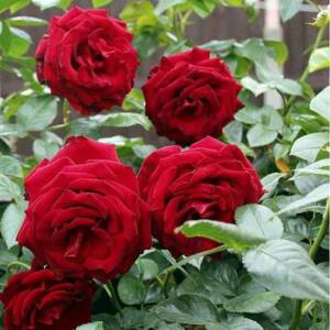 Rosa 'Scarlet' – Magastörzsű rózsaoltvány