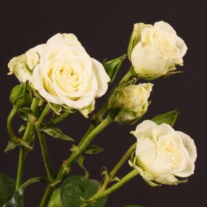 Rosa 'Snow Flake' – Fehér, illatos magastörzsű rózsaoltvány