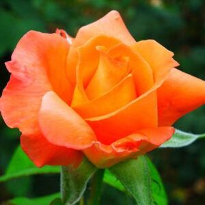 Rosa 'Sultana' – Narancssárga, teltvirágú, illatos magastörzsű rózsaoltvány
