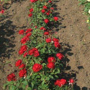 Rosa 'Vulkan' – Égőpiros, teltvirágú, illlatos magastörzsű rózsaoltvány