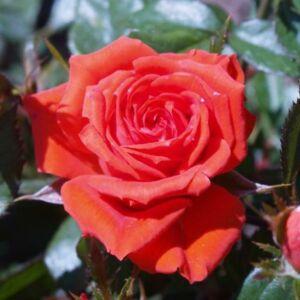 Rosa 'Mercedes®' - narancssárga-narancssárga piros virágágyi floribunda rózsa