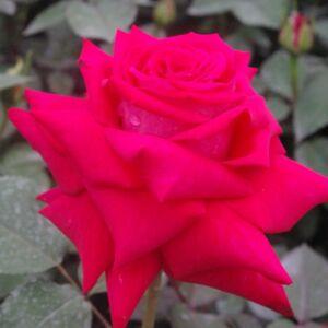 Rosa 'Agkon' kárminvörös nemes, virágágyi teahibrid rózsa