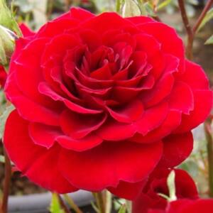 Rosa 'Lollipop' - karmazsin törpe - mini rózsa