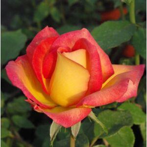 Rosa 'Alinka' - élénkpiros, a sziromfonák élénksárga virágágyi floribunda rózsa