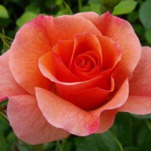 Rosa 'Alison 2000' - narancssárga virágágyi floribunda rózsa