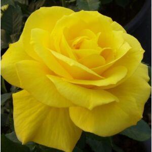 Rosa 'Friesia®' - sárga virágágyi floribunda rózsa
