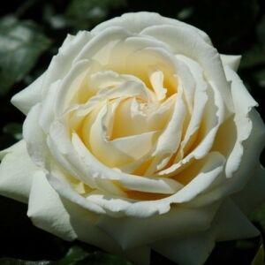 Rosa 'Moonsprite' - fehér a belső sziromfonák sárgás virágágyi floribunda rózsa
