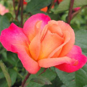 Rosa 'Animo' - Narancssárga ágyás rózsa
