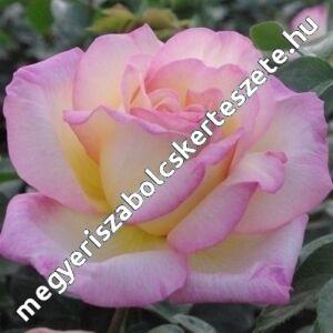 Rosa 'Béke - Peace' - világossárga, sötétpirosas - rózsaszínes széllel teahibrid rózsa